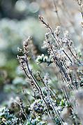 Hoarfrost on garden thyme