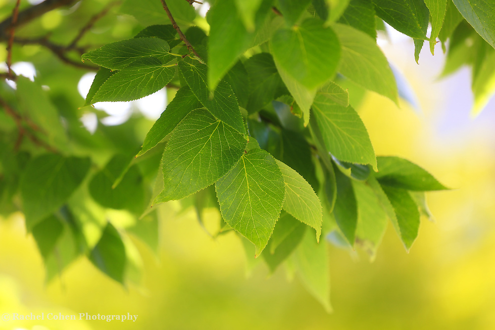 """""""Green and Yellow""""<br /> <br /> Beautiful bright green Elm leaves with a buttery yellow background of early fall color!!"""