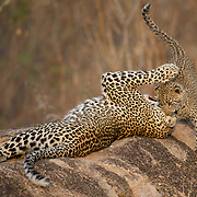 Leopard, a mother leopard plays  with her young cub. South Africa.