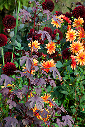 Dahlia 'Jescot Julie' and D. 'Karma Choc' with Hibiscus acetosella