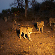 African Lion walking late evening under spotlights. Londolozi Private Game Reserve. South Africa.