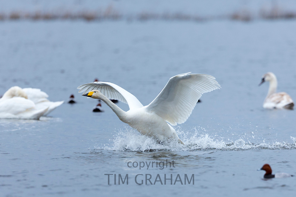 Whooper Swan, Cygnus cygnus, in flight with wings spread wide landing and splashing water at Welney Wetland Centre, Norfolk, UK