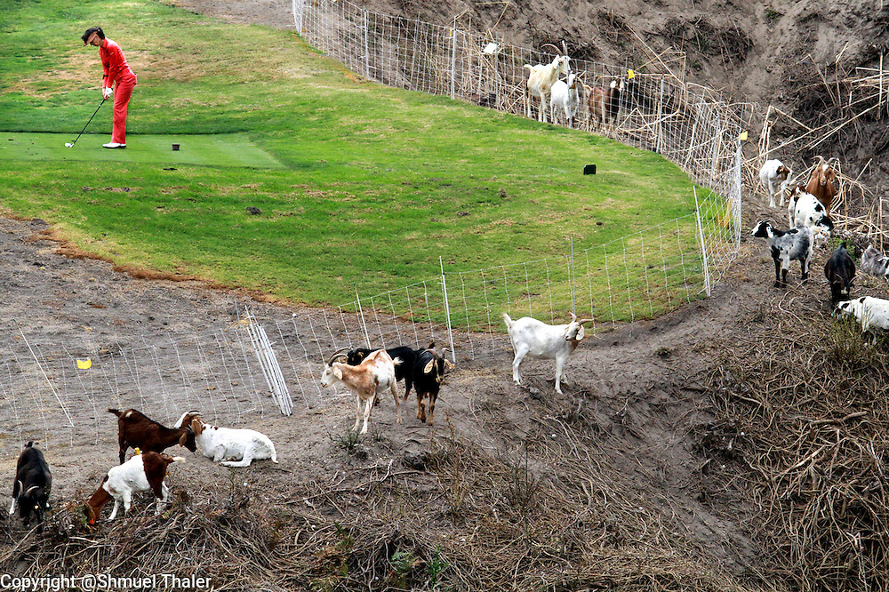 Suzy Katz tees off on the 18th hole at Pasatiempo Golf Course in Santa Cruz, California as a herd of brush-clearing goats calmly go about their business. Course officials hired a goat herder to have his animals clear brush and overgrowth on some of Pasatiempo's steeper terrain.<br /> Photo by Shmuel Thaler <br /> shmuel_thaler@yahoo.com www.shmuelthaler.com