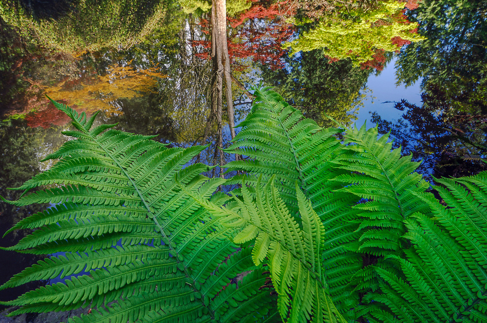 Ferns and pond, April, afternoon light, Washington Park Arboretum, Seattle, Washington, USA