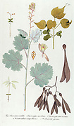 Hand painted botanical study of a Macleaya cordata, the five-seeded plume-poppy syn Bocconia cordata flower anatomy from Fragmenta Botanica by Nikolaus Joseph Freiherr von Jacquin or Baron Nikolaus von Jacquin (printed in Vienna in 1809)