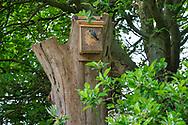 Blue-tit at the nest-box