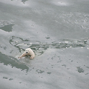 A polar bear breaks through the newly forming ice of Hudson Bay and has to swim. Manitoba, Canada