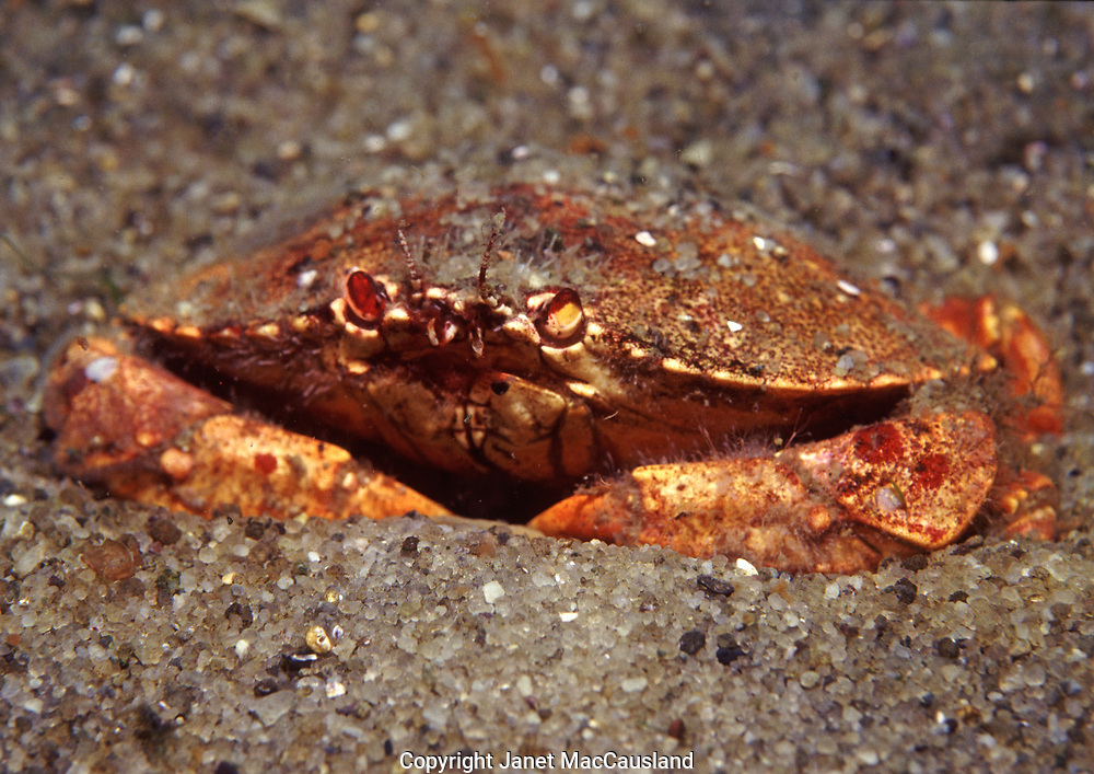 A Jonah Crab (Cancer Borealis), or Northern Crab, is similar in appearance to the Atlantic Rock Crab (Cancer irroratus) but has thicker claws. There are some other subtle differences in the shell shape: the Rock crab's shell, or carapace, edge is scalloped, whereas the Rock Crab  has little points at the widest part. This crab is buried in the sand enough so that it would be camouflaged from above. They are edible and choice, but a lot of picky work.