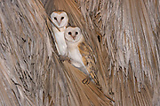 Barn Owl (Tyto alba) 2 on a Palm tree at night, Hefer valley, Israel
