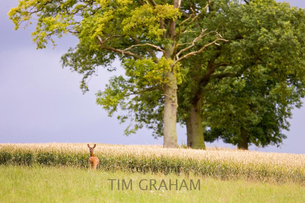 Lone deer by a wheat field in Leafield, Oxfordshire, England, United Kingdom