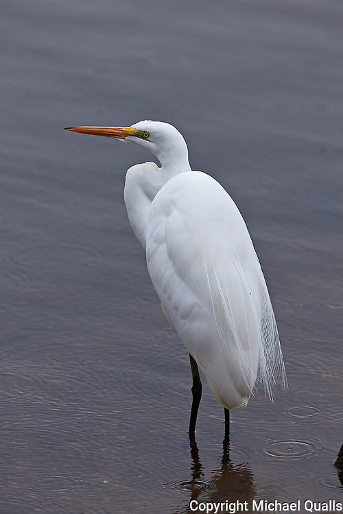 Great Egret in a morning shower.