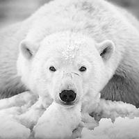 A polar bear cub rests on the ice one the shores of the Beaufort Sea.  Kaktovik, Barter Island, Alaska.
