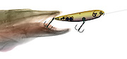 This X-ray illustration of a Muskellunge (Esox masquinongy)  and a fishing lure.