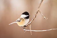 Closeup of a Chickadee on a branch at Carburn Park.<br /> <br /> ©2011, Sean Phillips<br /> http://www.RiverwoodPhotography.com