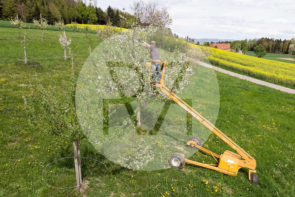 SCHWEIZ - BALLWIL - Köbi Kaufmann, Bauer auf dem Biohof Oberfeld, veredelt Hochstamm-Apfelbäume auf seinem Betrieb - 24. April 2019 © Raphael Hünerfauth - https://www.huenerfauth.ch