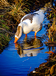 Geese on the island of Great Cumbrae off the west coast of Scotland<br /> <br /> (c) Andrew Wilson   Edinburgh Elite media