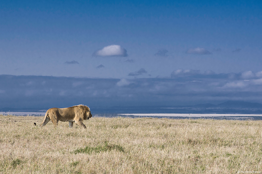 This lion was calmly stalking a giraffe herd, periodically feigning indifference.  Less than a mile away, we collected data on rhino habitat.  Good thing we were downwind.