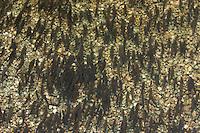 Chub, Alet oder Döbel, Chevaine (Leuciscus cephalus)<br /> Spawning in shallow water, Sava river, Slovenia<br /> Laichend in seichtem Wasser, Sava, Slowenien<br /> Sur frayère, rivière Sava, Slovénie<br /> 12-06-2008
