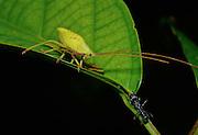 Katydid & Bullet Ant face off on leaf at night - Amazonia, Peru.