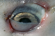 eye of tiger shark, Galeocerdo cuvier, partially covered by nictitating membrane