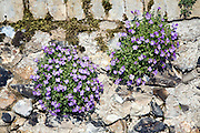 Clumps of flowering aubretia growing on stone wall