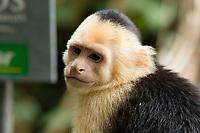 White-faced Capuchin, Cebus capucinus, beside a trail in Manuel Antonio National Park, Costa Rica