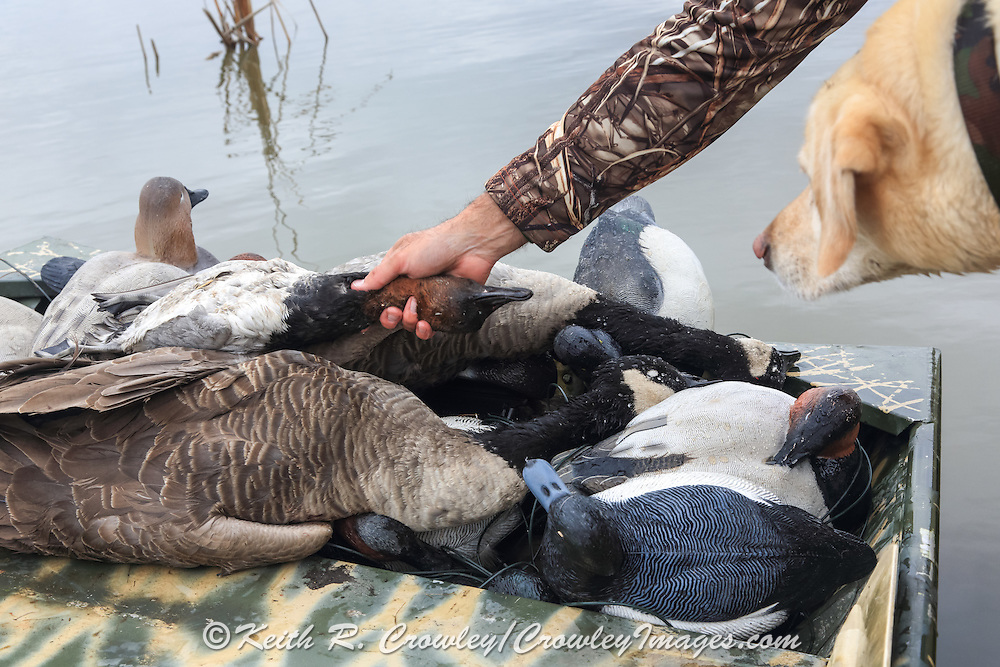 Unloading the boat following a successful morning hunt on a marsh.