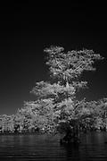 Lake Dauterive infrared photogramp of a cypress treee, dark black sky nad bright white follaige