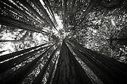 Looking up through redwoods, Limekiln State Park, Big Sur, California USA