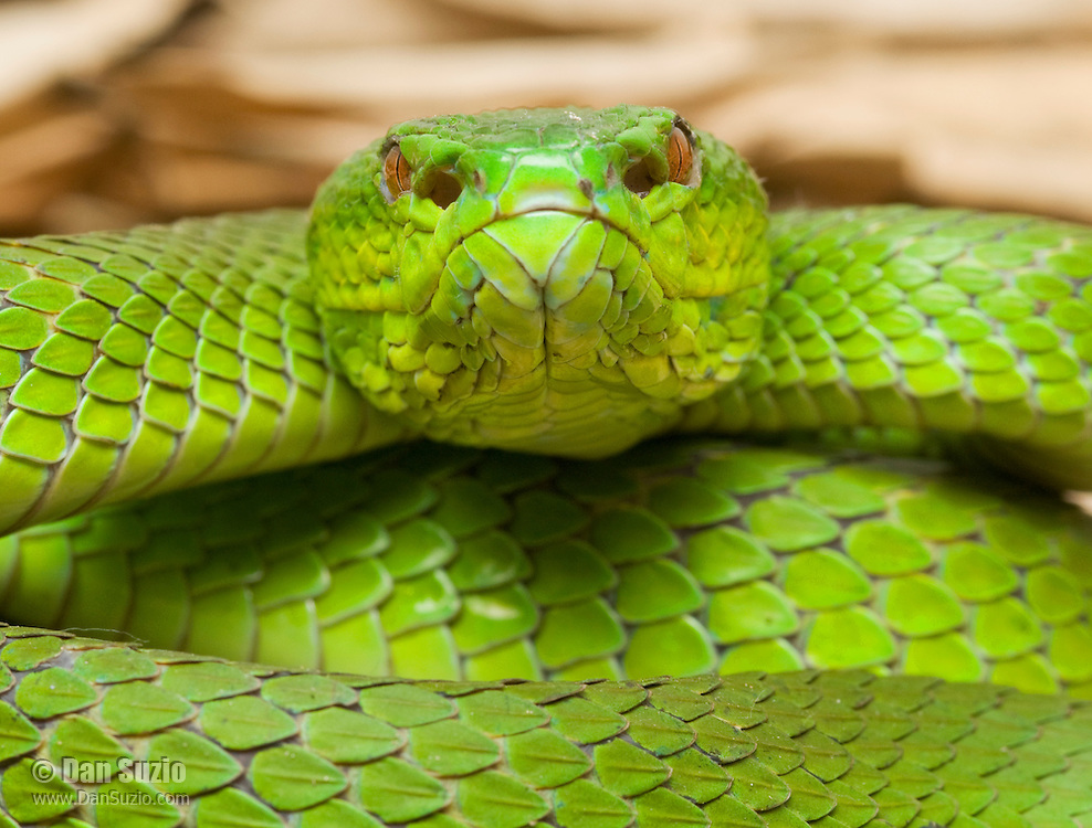Sunda Island pitviper, Cryptelytrops insularis, in defensive posture. The snake's heat-sensing pits are visible between the eye and the nostril. Cosidered an arboreal species throughout most of its range, but in Timor-Leste it is most often found on the ground. Baucau District of Timor-Leste (East Timor).