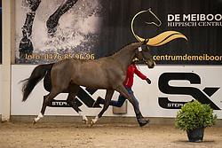 022, Stiles vd Bisschop<br /> BWP Hengstenkeuring 2021<br /> © Hippo Foto - Dirk Caremans<br />  11/01/2021