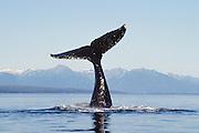 Alaska. Southeast. Pt Aldulphus. Humpback Whale (Megaptera novaeangliae) tail.
