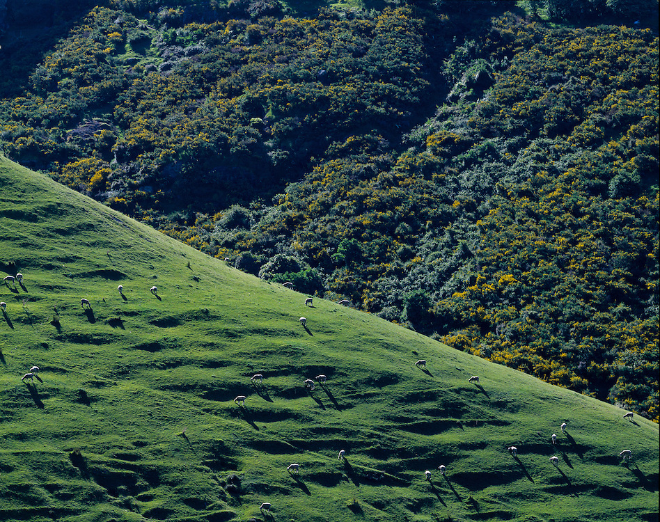Green hillside with sheep grazing with native bush in background near the town of Sumner close to Christchurch on the South Island of New Zealand. Licensing and Limited Edition Prints.