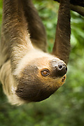 Portrait of a southern two-toed sloth (Choloepus didactylus). captive. Range: Tropical forests of Central America and northern South America.
