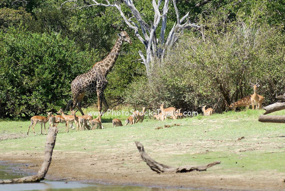 Tanzania wildlife safari A giraffe and a herd of Impala Aepyceros melampus