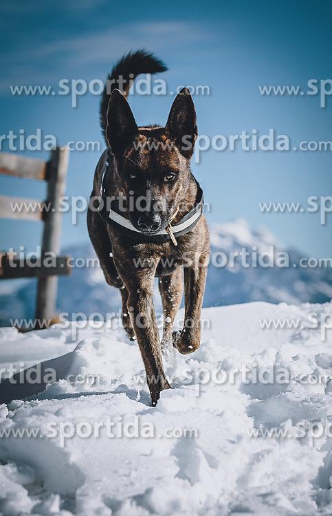 THEMENBILD - ein Hund (Belgischer Schäferhund) läuft durch den Schnee, aufgenommen am 22. November 2020 in Saalbach Hinterglemm, Oesterreich // a dog (Belgian shepherd dog) runs through the snow in Saalbach Hinterglemm, Austria on 2020/11/22. EXPA Pictures © 2020, PhotoCredit: EXPA/Stefanie Oberhauser
