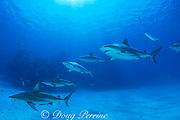requiem sharks, Carcharhinus limbatus and Carcharhinus perezi, Walker's Cay, Abaco Islands, Bahamas ( Western Atlantic )