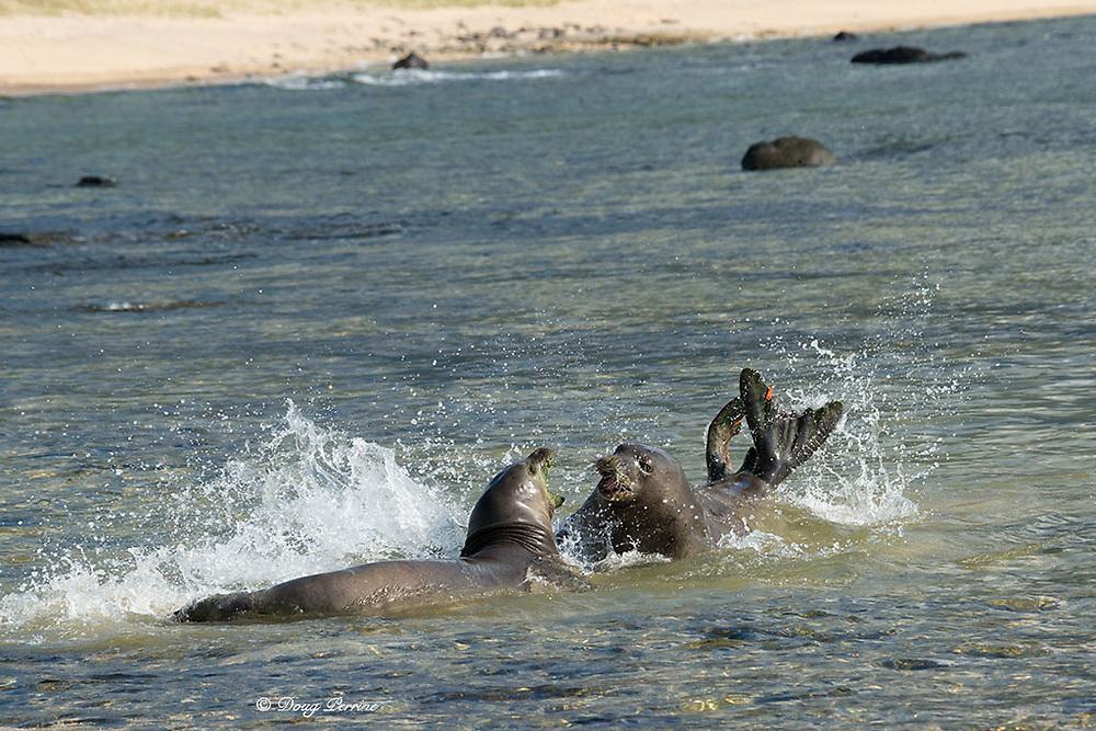 Hawaiian monk seals, Neomonachus schauinslandi ( Critically Endangered endemic species ), female (on right) drives away aggressive male, Kalaupapa, Molokai, Hawaii, USA