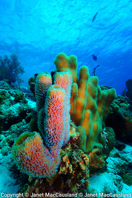 This photograph is a beautiful underwater reef scene full of color with pink tube sponges, golden pillar corals and aqua blue water.