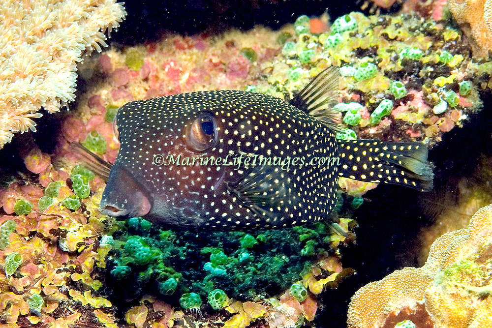Spotted Boxfish inhabit reefs. Picture taken Dumaguete, Philippines.