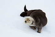 A northern sea otter rests in the snow.