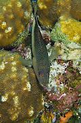 Coney (Cephalopholis fulva)<br /> BONAIRE, Netherlands Antilles, Caribbean<br /> HABITAT & DISTRIBUTION: Reefs<br /> Florida, Bahamas, Caribbean, Gulf of Mexico, Bermuda & south to Brazil.