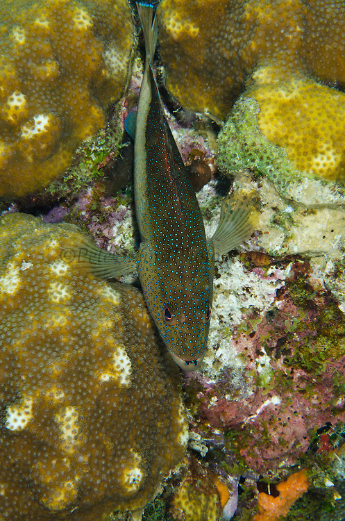 Coney (Cephalopholis fulva)<br /> BONAIRE, Netherlands Antilles, Caribbean<br /> HABITAT & DISTRIBUTION: Reefs<br /> Florida, Bahamas, Caribbean, Gulf of Mexico, Bermuda & south to Brazil.