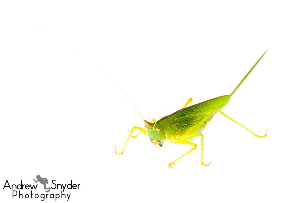 Red horn unicorn katydid, Copiphora sp., Iwokrama, Guyana, July 2013
