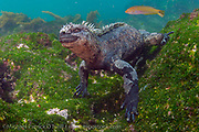 Endemic to the Galapagos Islands, the Marine Iguana, Amblyrhynchus cristatus, is unique among lizards as it's the only species to forage in the ocean, with males diving every day to feed on algae growing on rocks in the cold water. Females and the young feed in the intertidal zone.