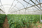 Israel, Aravah Desert Tomatoes in a greenhouse. tomato (Solanum lycopersicum) crop growing in a greenhouse. Photographed in Israel