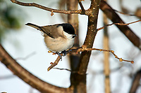 Coal Tit (Parus ater), Westerham, England, : Photo by Peter Llewellyn