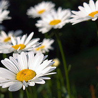 Summer daisys captured on Maine's Cabbage Island