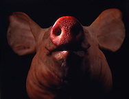 Close up of pigs head against black background
