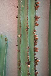Stenocereus - Cactus<br /> Beneath a Mexican Sky Garden<br /> RHS Chelsea Flower Show 2017<br /> Design: Manoj Malde<br /> Built by: Living Landscapes<br /> Sponsored by: Inland Homes PLC<br /> Photography © Copyright Jonathan Buckley